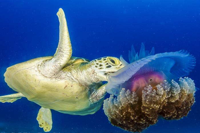 Turtle & Jellyfish - Great Barrier Reef Australia