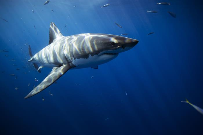 Cage diving with Great White Sharks in Guadalupe