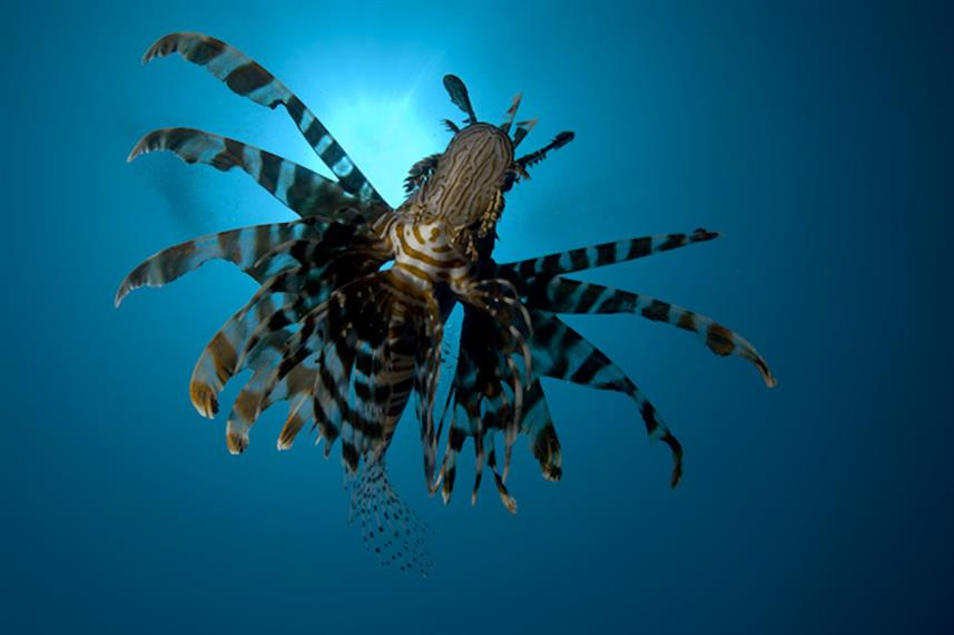 Lionfish in Indonesia