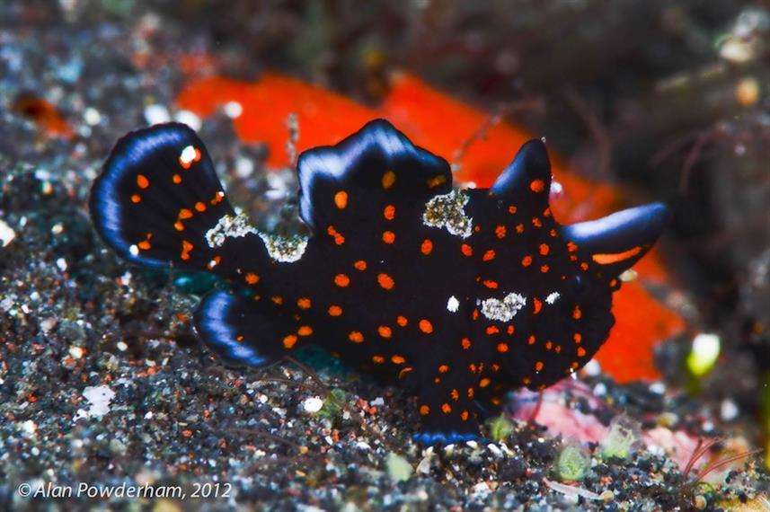 Juvenile Painted frogfish in Bali
