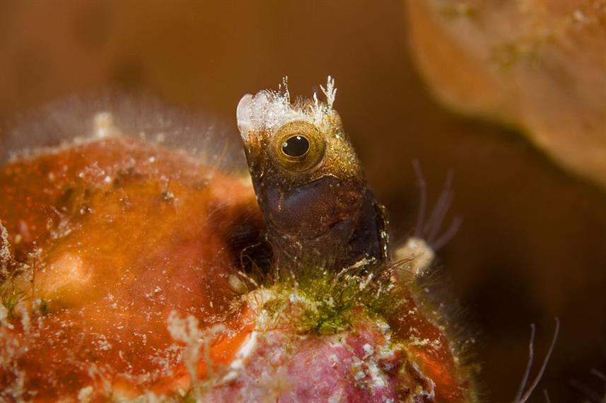 Blenny white nose