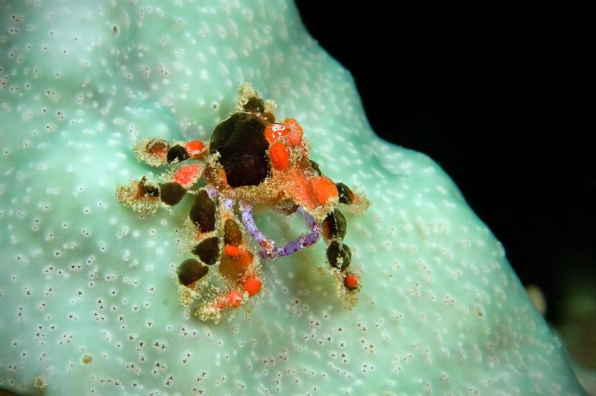 Cryptic Teardrop Crab Black Spots
