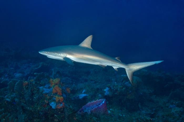 Requin - Turks and Caicos Explorer