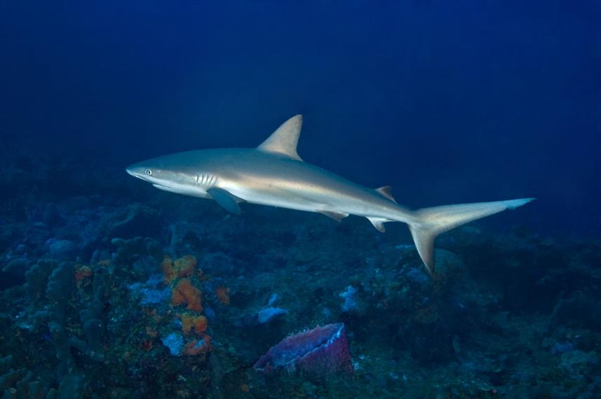 Shark - Turks and Caicos Explorer