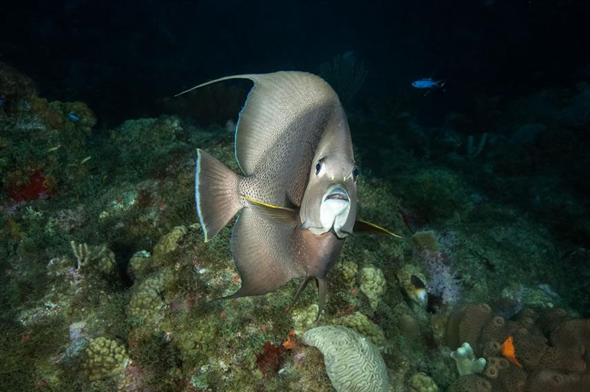French Angelfish - Night Dive - Saba - Caribbean Explorer II