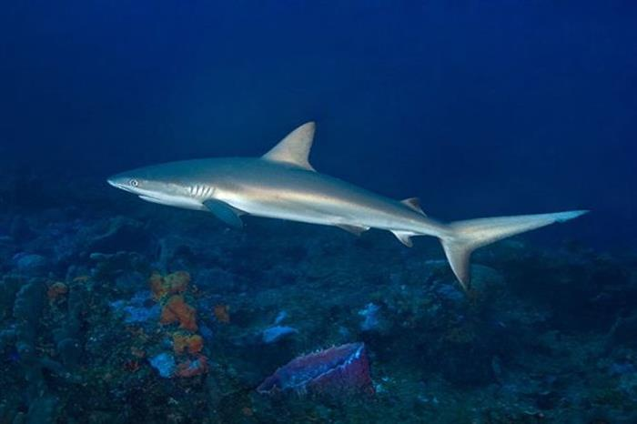 Caribbean sharks diving with Caribbean Explorer II