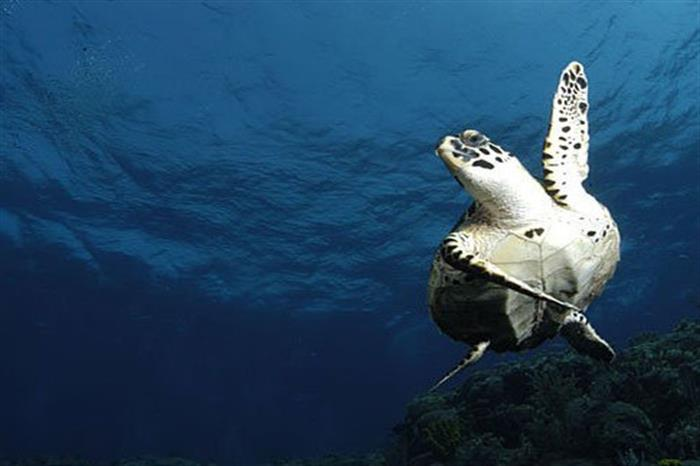 Friendly turtle in Caribbean waters onboard Caribbean Explorer II