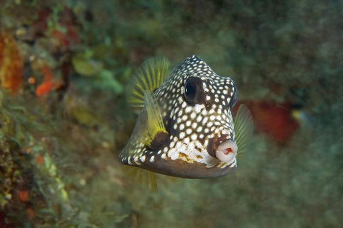 Trunk fish - St Kitts - Caribbean Explorer II