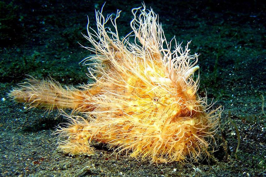 Hairy Frogfish - Diving Bunaken