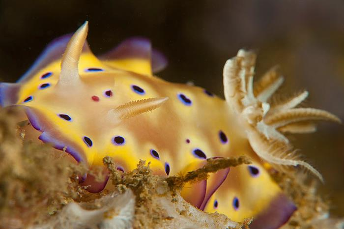 Pretty Nudibranchs