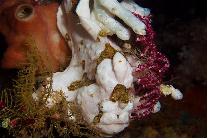 Frogfish in Raja Ampat