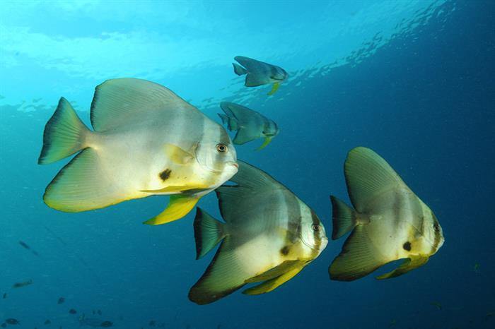 Schools of Batfish - Raja Ampat