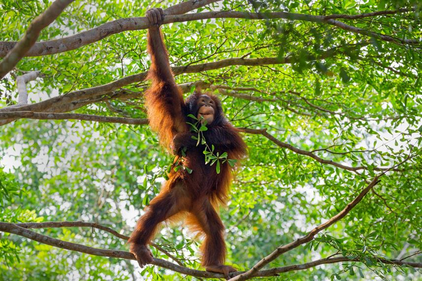 Just hanging out . . . with Orangutans in Kalimantan