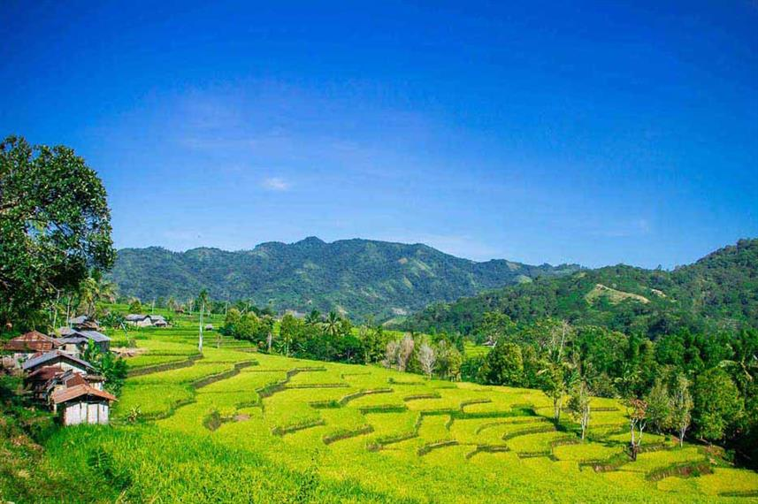 Rice paddies in Indonesia - Ombak Putih