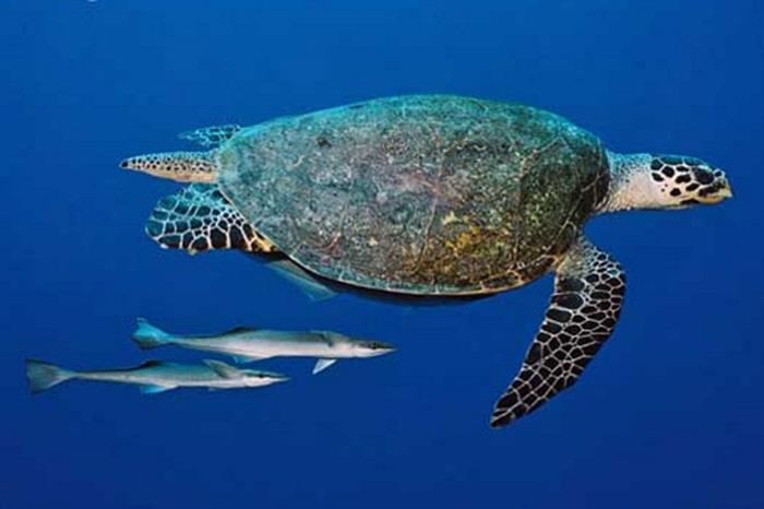 Turtle - Ocean Hunter 1