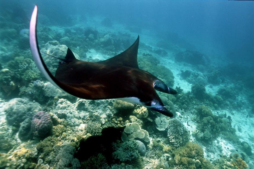 Spectacular Manta Rays in Indonesia onboard Euphoria Liveaboard