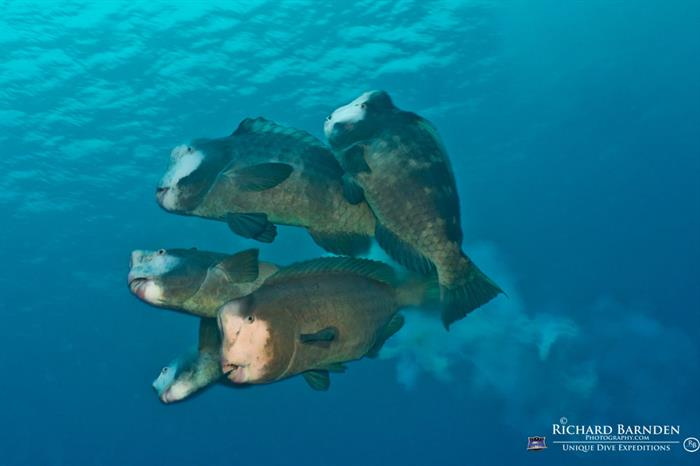 Spawning Bumphead Parrotfish