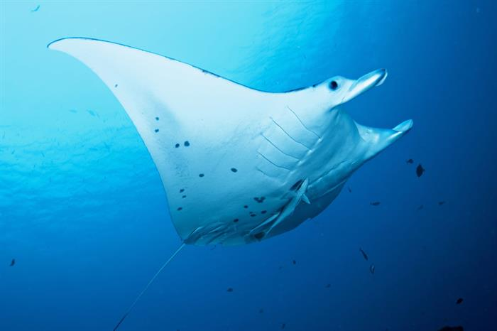 Diving with Manta Rays in Palau