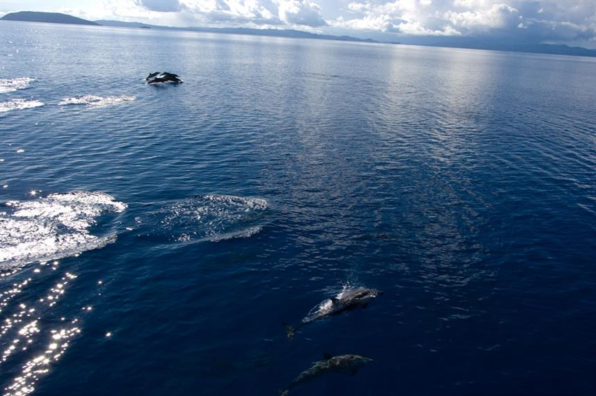 Dolphins along side the bow of Moana