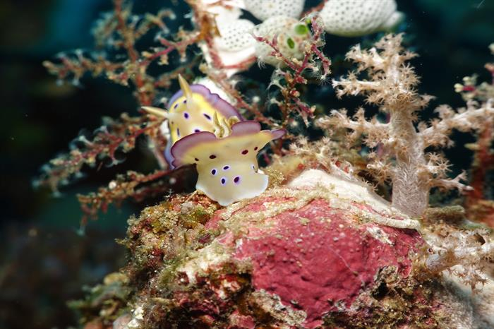 Nudibranch - Diving Raja Ampat