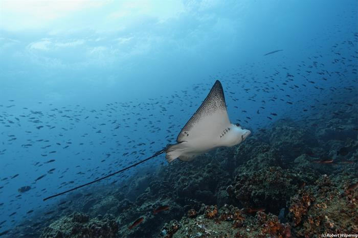 Eagle Ray - Scuba Diving Galapagos