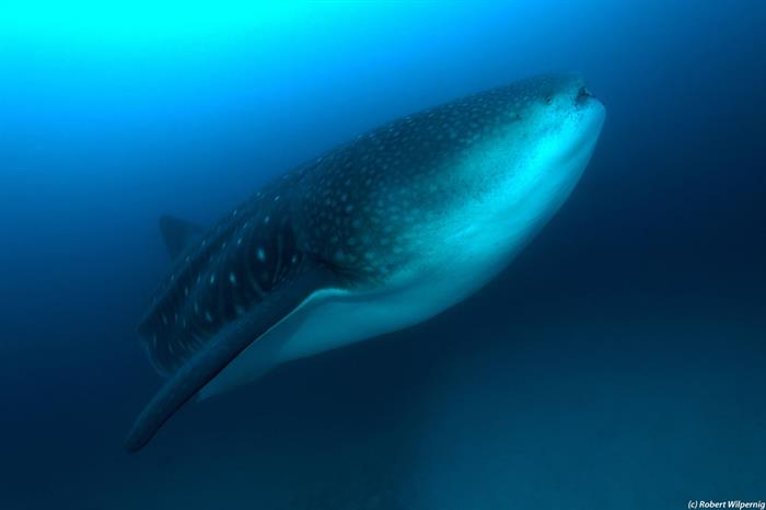 Whale Sharks in the Galapagos Islands