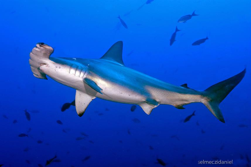 Requin - Andromeda