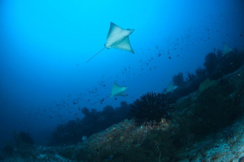 Eagle Rays cruising the reef - Maldives
