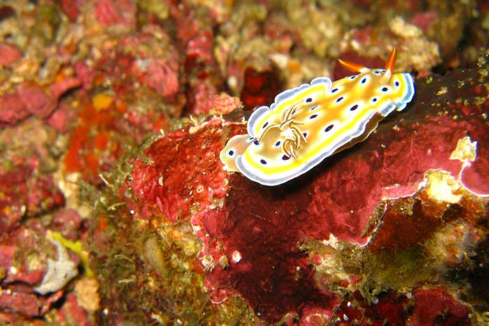 Nudibranch - Diving the Andaman Sea
