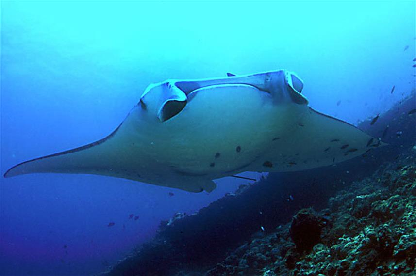 Dive with Manta Rays in Komodo National Park