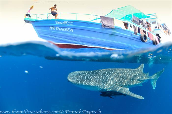 Whale sharks in Myanmar