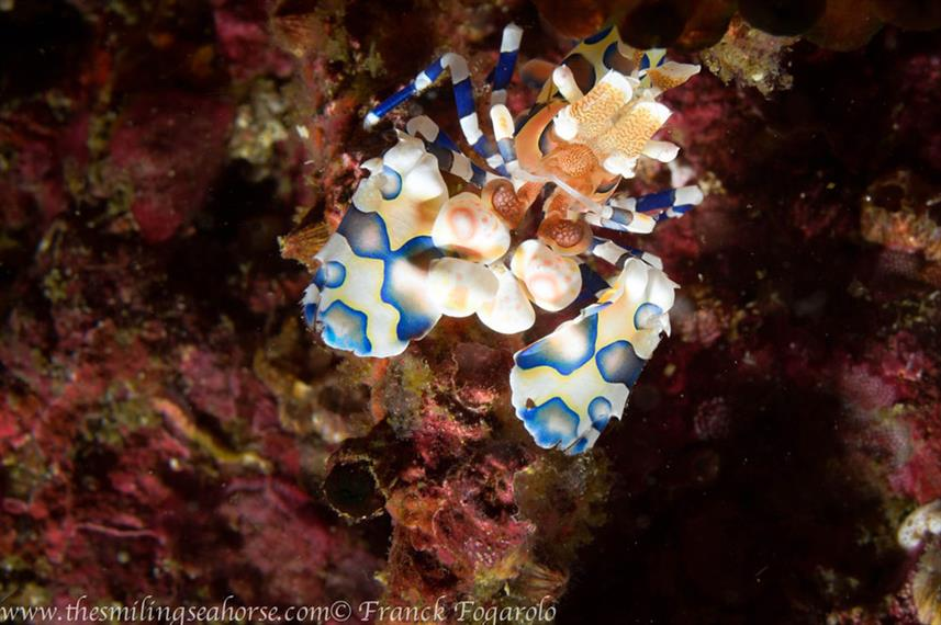 Harlequin Shrimp - MV Thai Sea