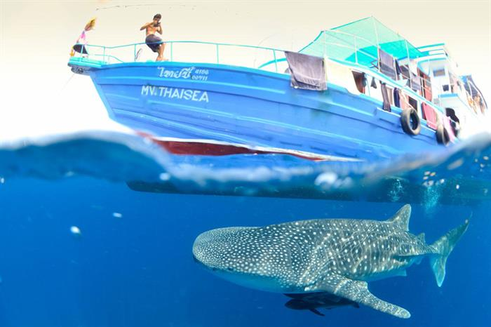 MV Thai Sea and Whaleshark