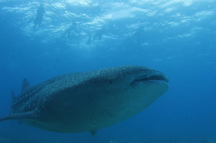 See magnificent Whale Sharks in the Maldives - Fun Azul