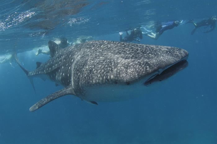 Chance to snorkel or dive with amazing Whale Sharks - Fun Azul