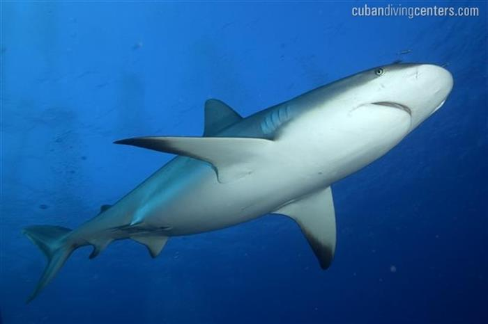 Cuba is well known for its large number of sharks