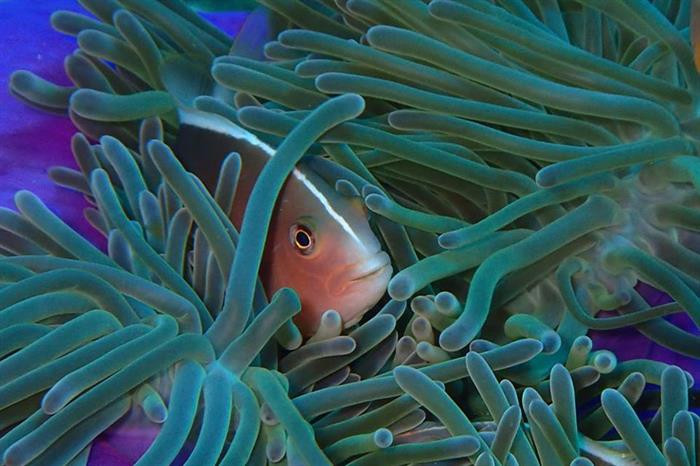 Clown Fish - Deep Andaman Queen