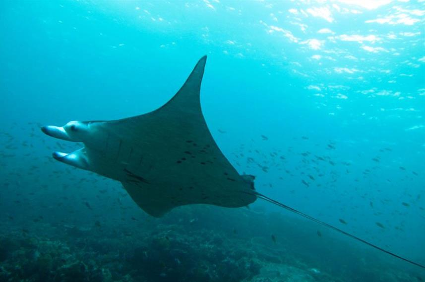 Manta Ray  - Deep Andaman Queen
