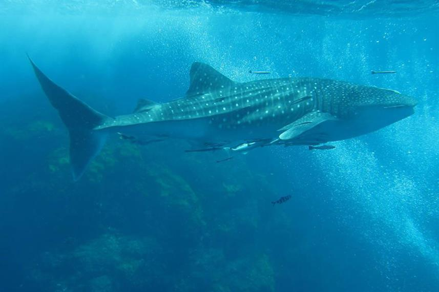 Whale Shark - Deep Andaman Queen