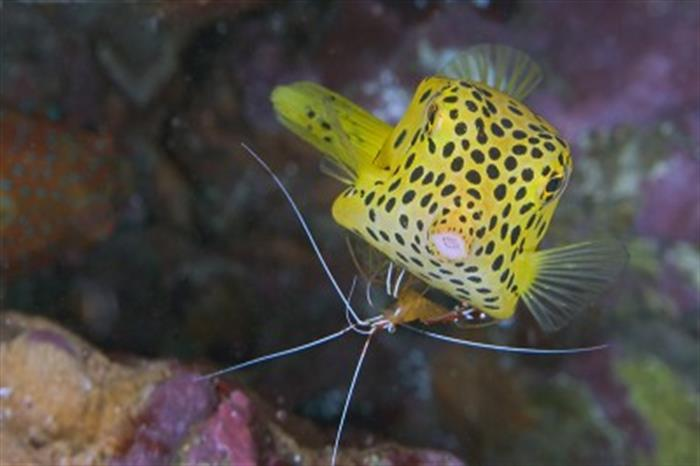 Cute Boxfish - MV Marco Polo