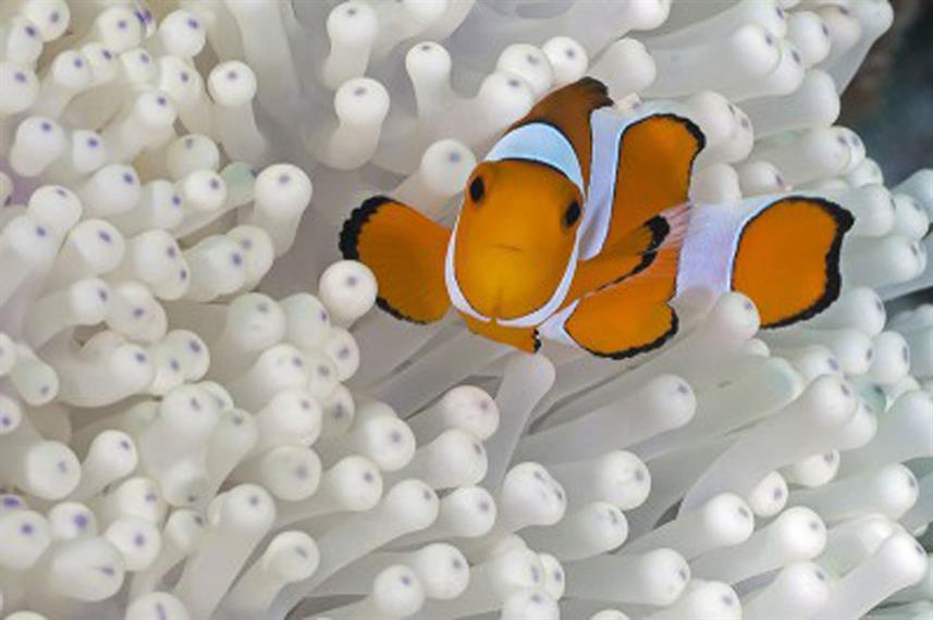 Clownfish - Andaman Sea