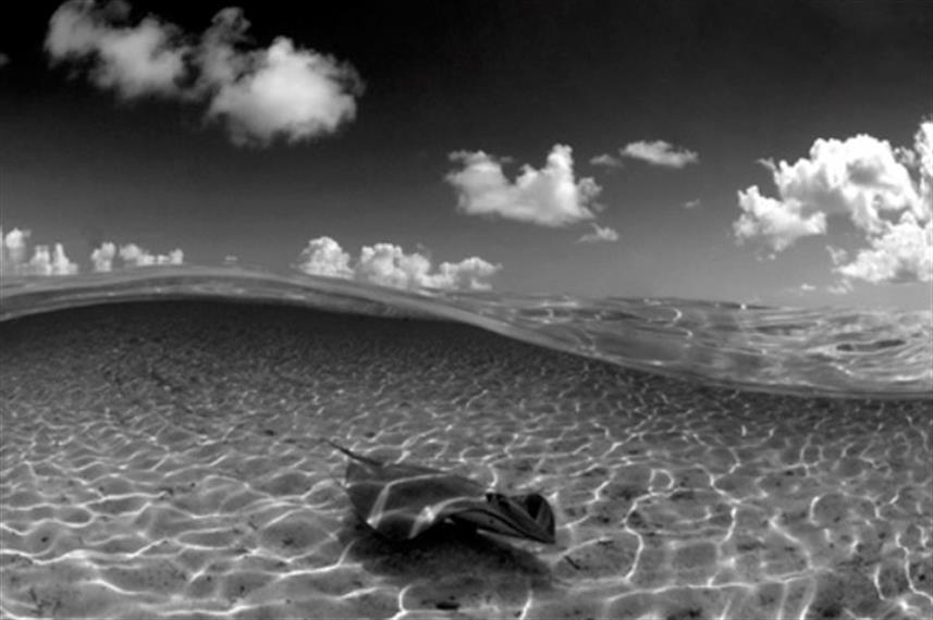 Sting Ray - French Polynesia