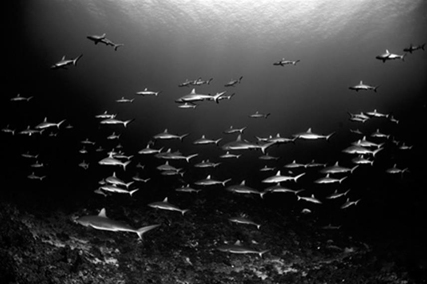 Schools of Reef Sharks - French Polynesia