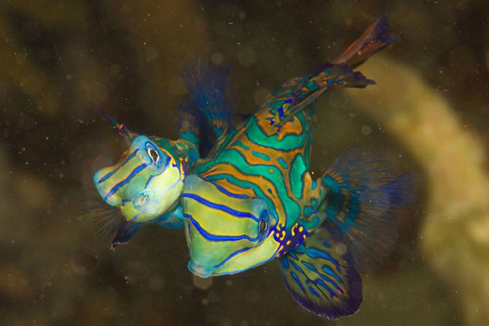 Mandarin Fish - French Polynesia