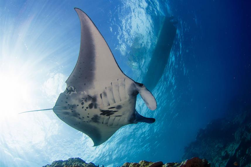 Majestic Manta Rays - French Polynesia