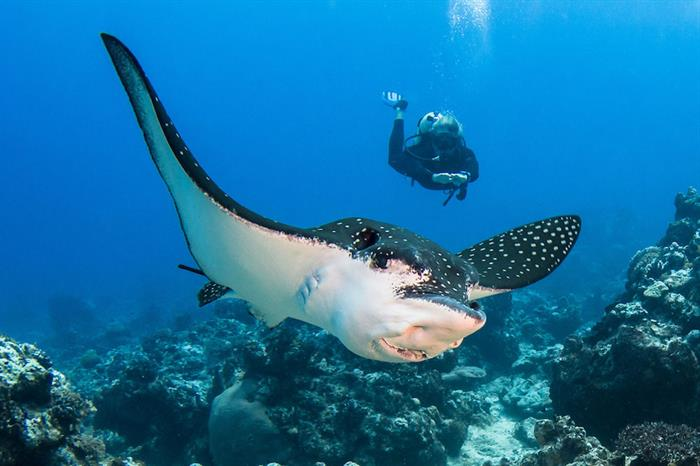 Eagle Ray - French Polynesia