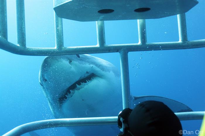 Up close and personal with the Great Whites of Guadalupe