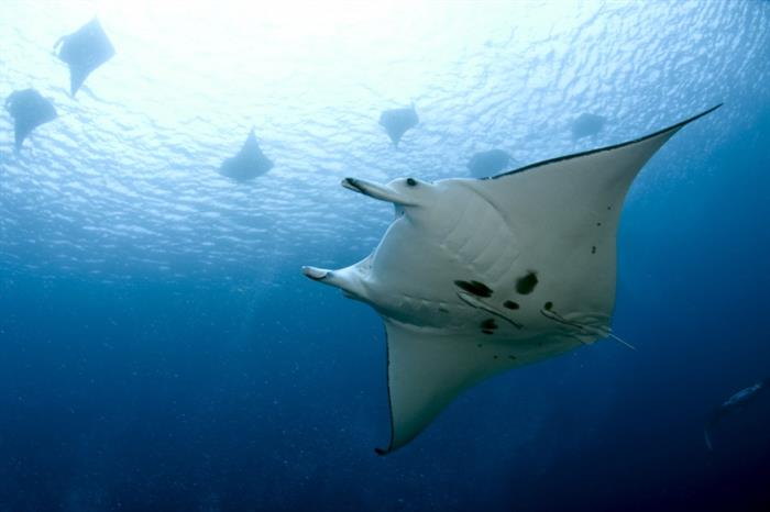 Giant Manta in the Solomon Islands onboard Bilikiki Liveaboard