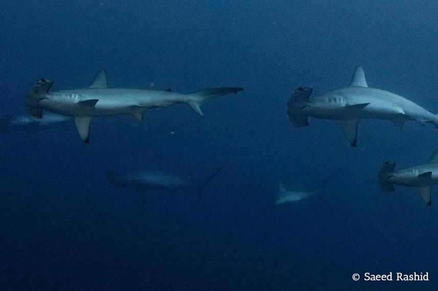 Red Sea Hammerheads
