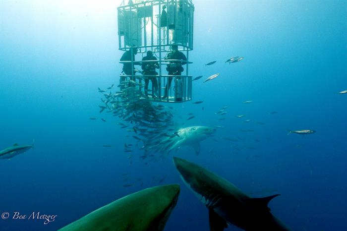 Cage diving with Great White Sharks, Guadalupe - Nautilus Belle Amie